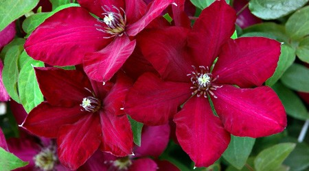Early Large-flowered Group Clematis 'Solidarność'
