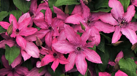 Late Large-flowered Group Clematis 'Barbara'
