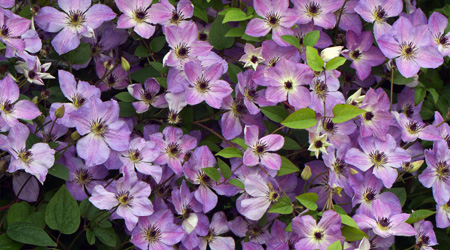 Clematis 'Morning Sky' PBR